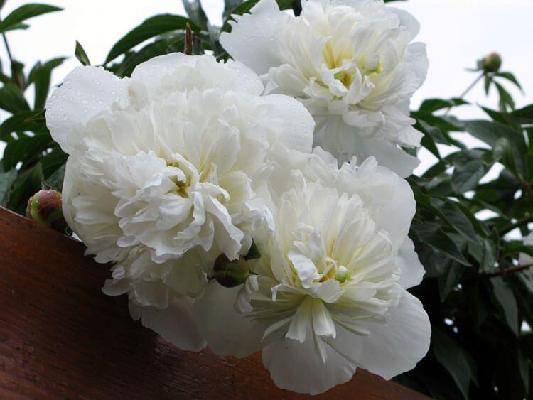 belij-iscelenie-cvetom-0009