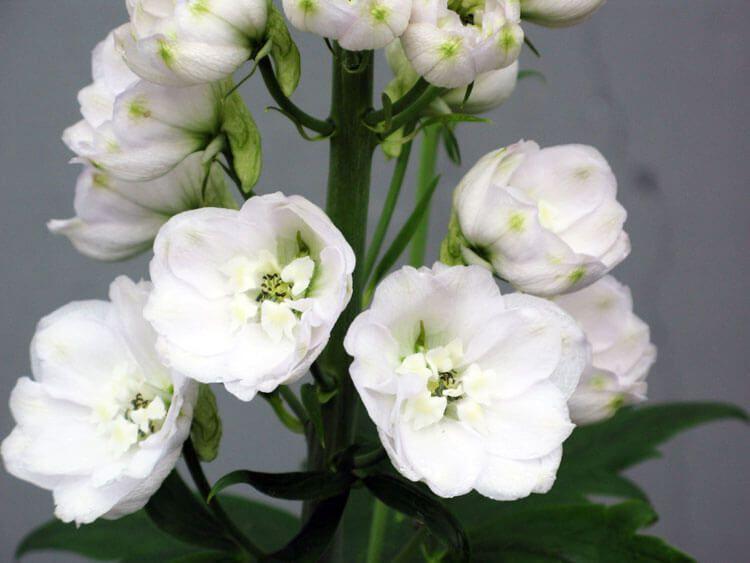 belij-iscelenie-cvetom-0015