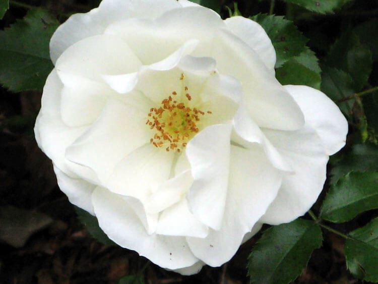 belij-iscelenie-cvetom-0016