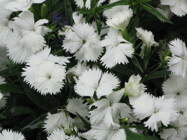 belij-iscelenie-cvetom-0019