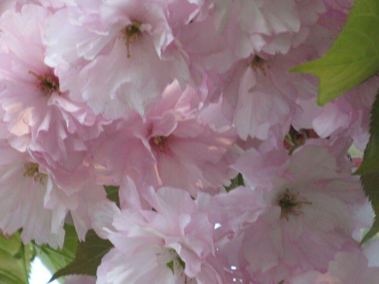 rosoviy-iscelenie-cvetom-001