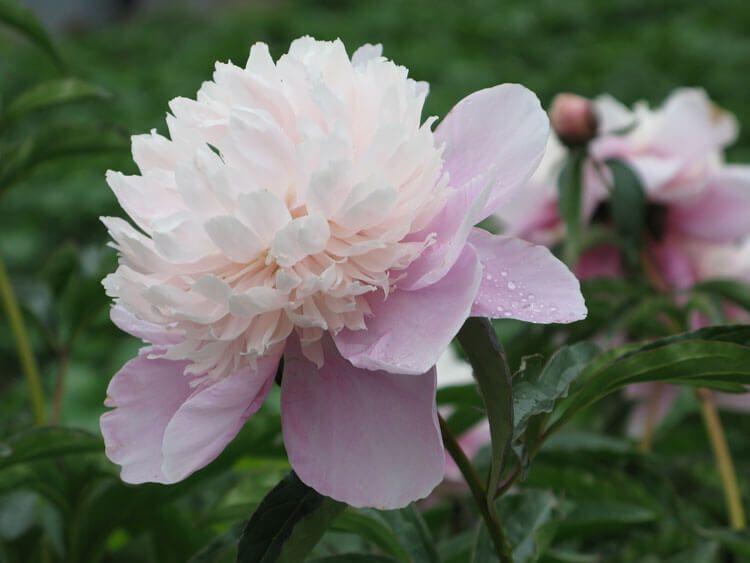 rosoviy-iscelenie-cvetom-003