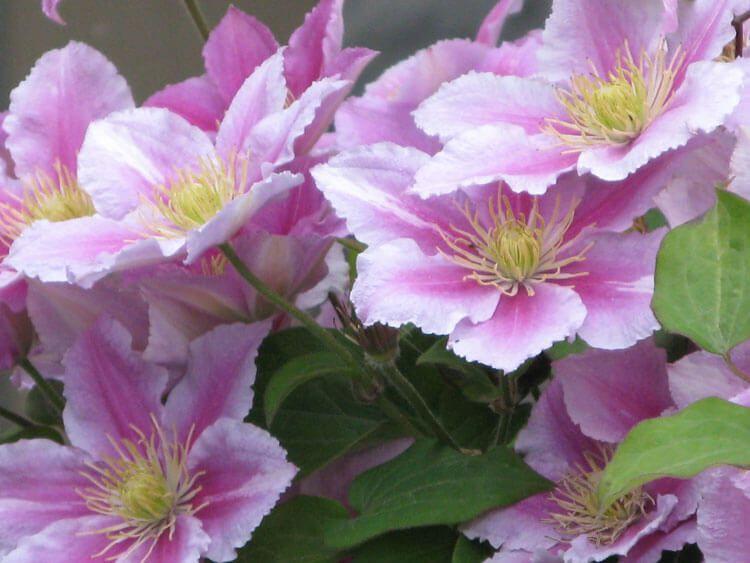rosoviy-iscelenie-cvetom-004