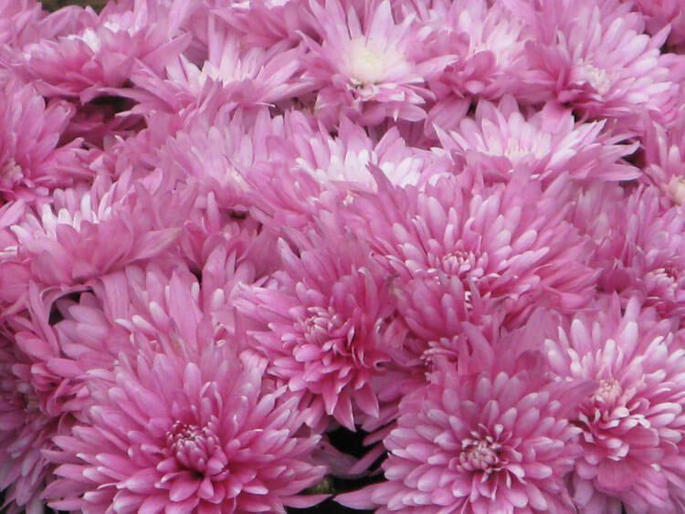 rosoviy-iscelenie-cvetom-005