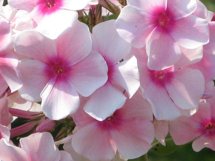 rosoviy-iscelenie-cvetom-007