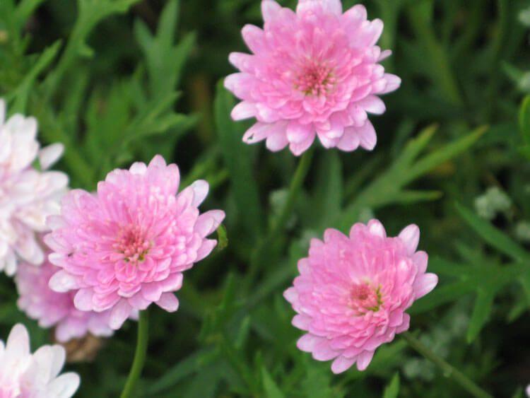 rosoviy-iscelenie-cvetom-008