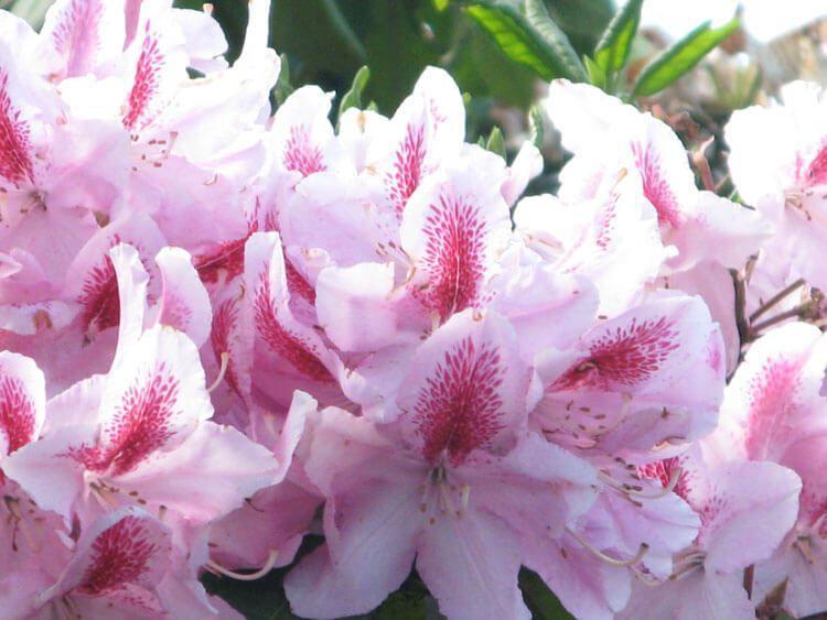 rosoviy-iscelenie-cvetom-009