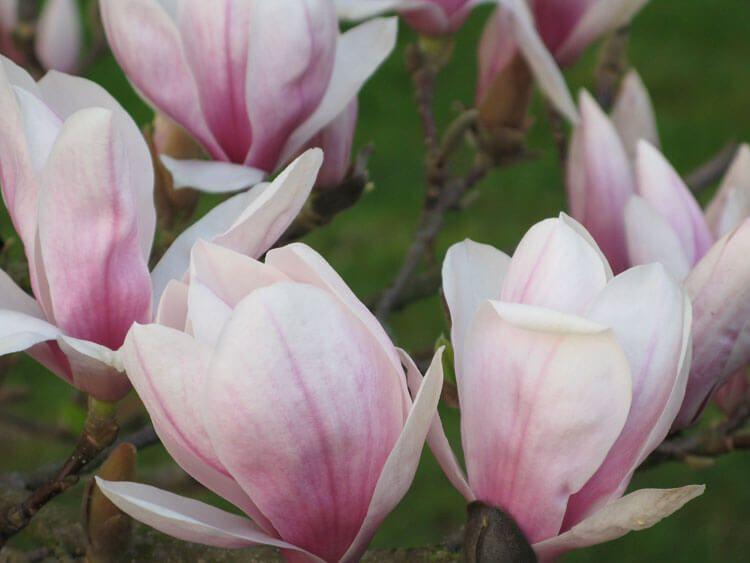 rosoviy-iscelenie-cvetom-010