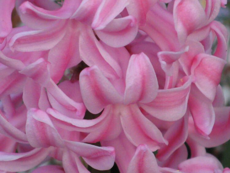rosoviy-iscelenie-cvetom-012