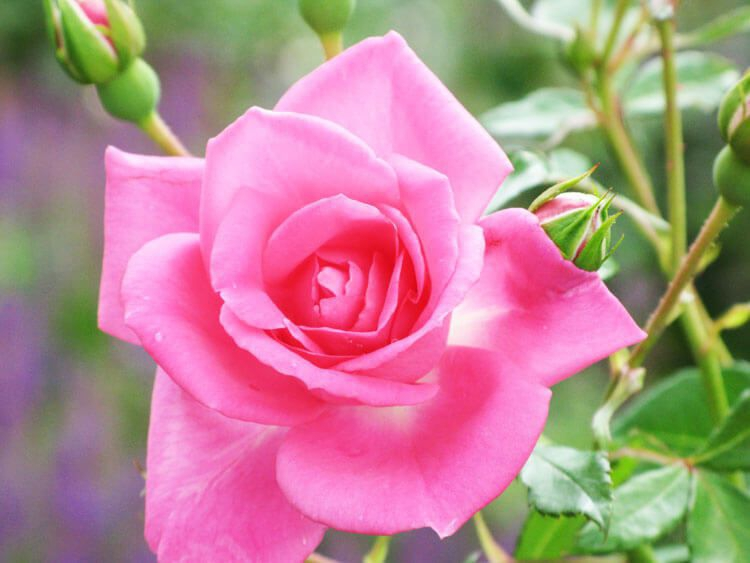 rosoviy-iscelenie-cvetom-014