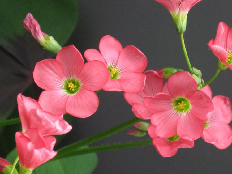 rosoviy-iscelenie-cvetom-017