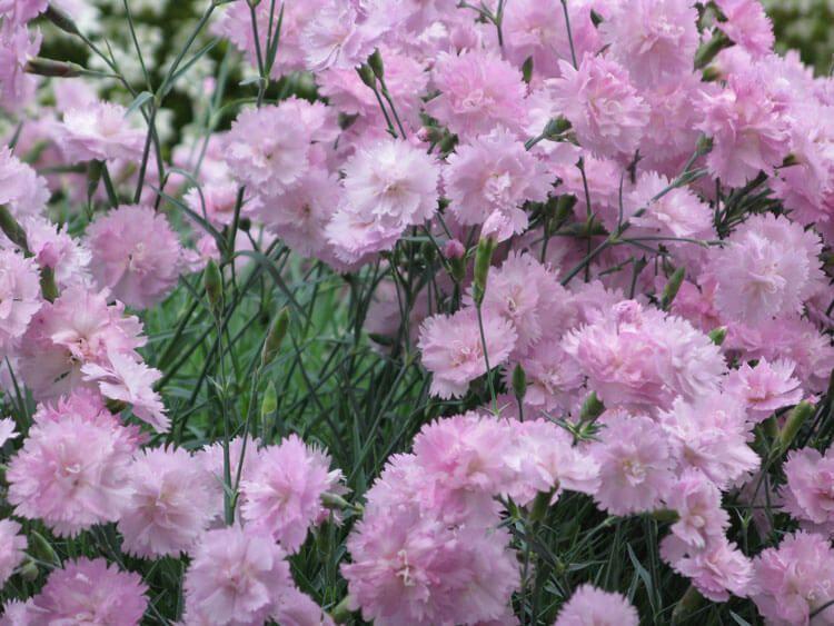 rosoviy-iscelenie-cvetom-019