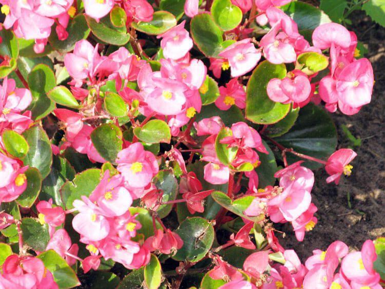 rosoviy-iscelenie-cvetom-021