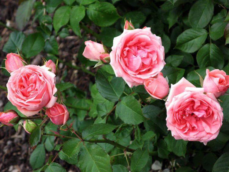 rosoviy-iscelenie-cvetom-024