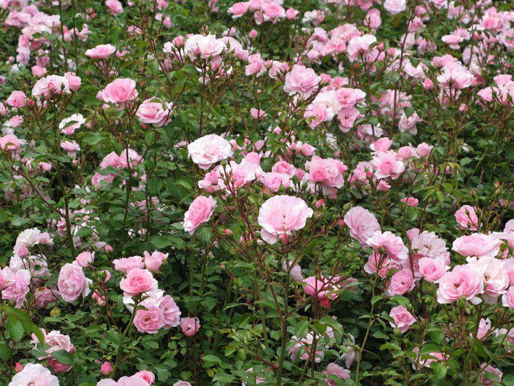 rosoviy-iscelenie-cvetom-026