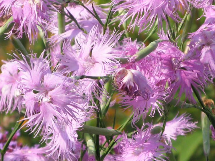 rosoviy-iscelenie-cvetom-033