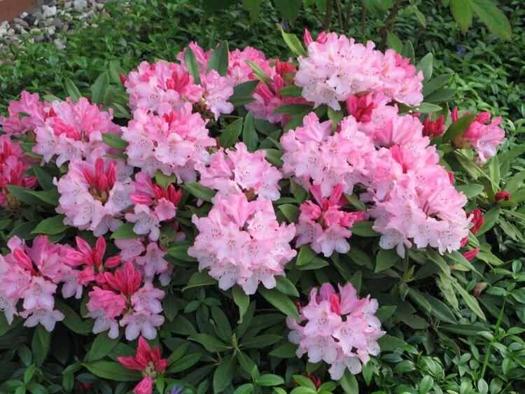 rosoviy-iscelenie-cvetom-036