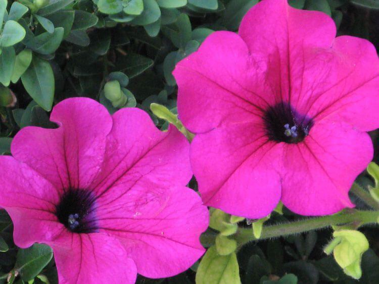 purpur-03