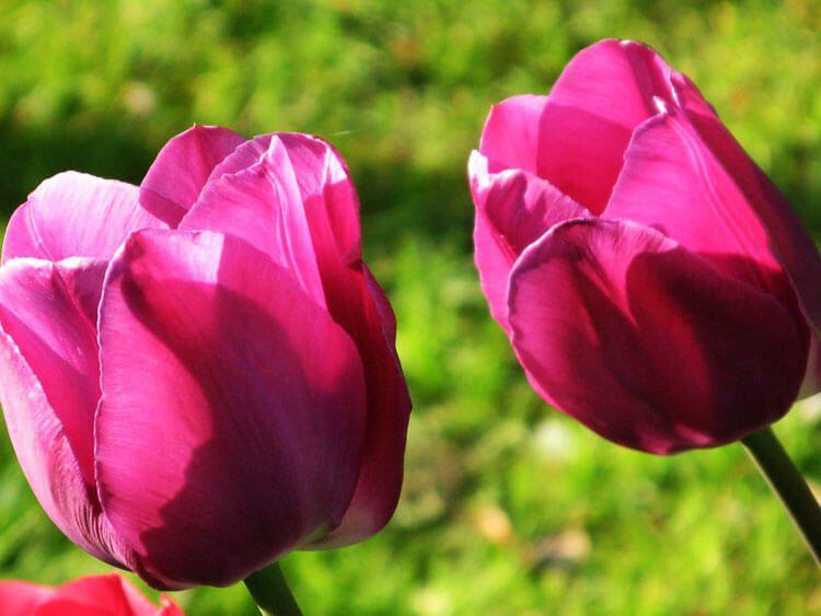 purpur-031