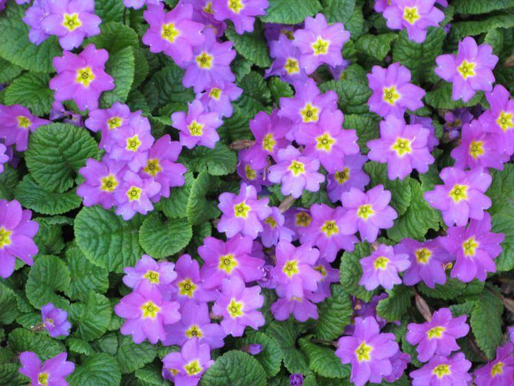 violet-01
