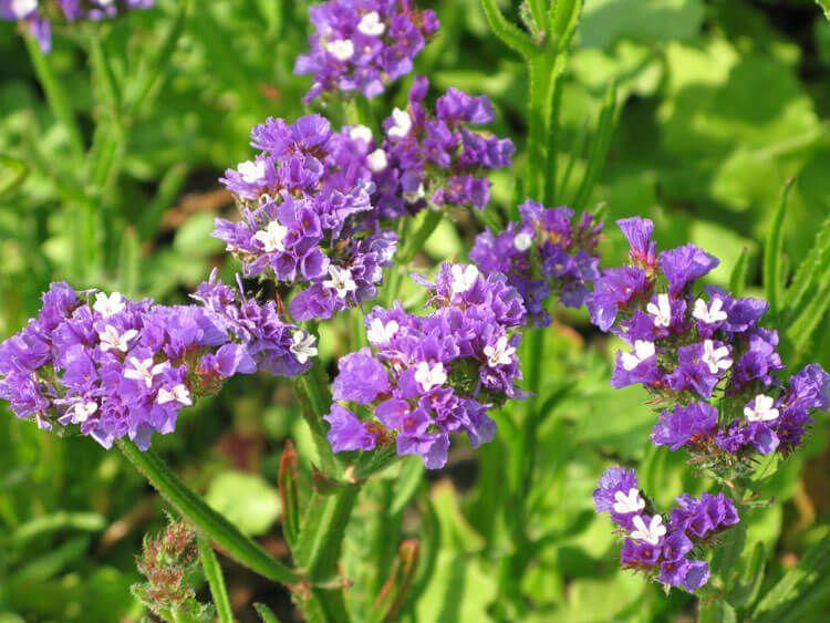 violet-011