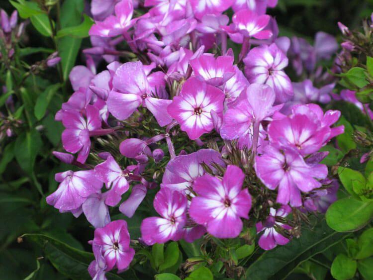 violet-012