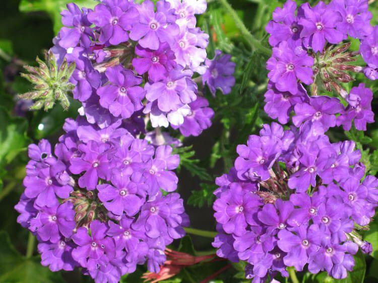 violet-014