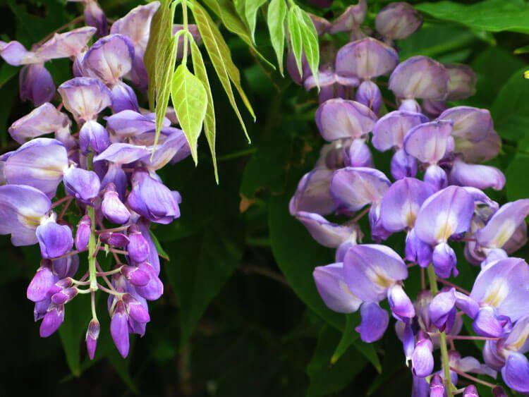 violet-017