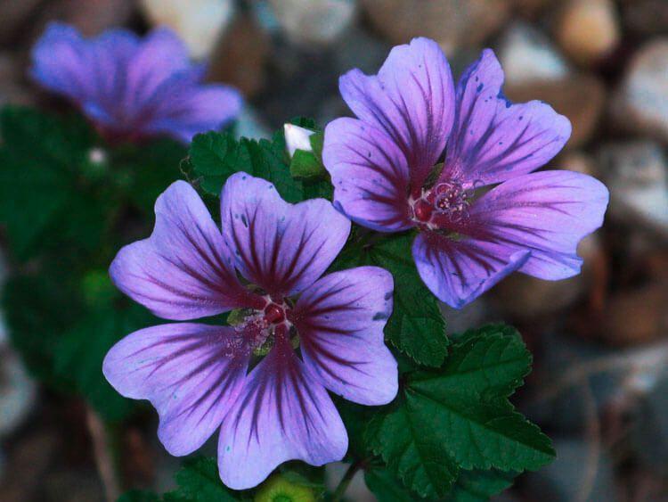 violet-019