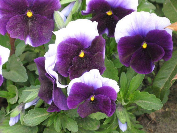 violet-023