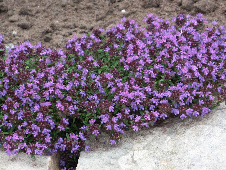 violet-024