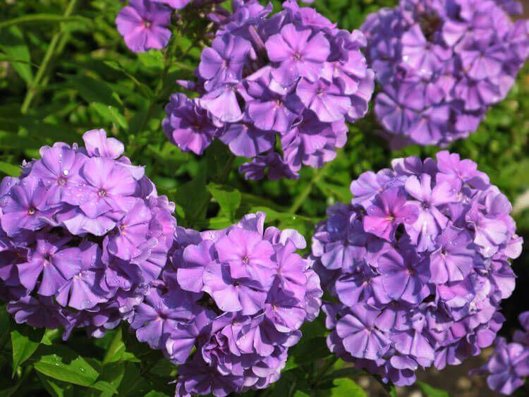 violet-029
