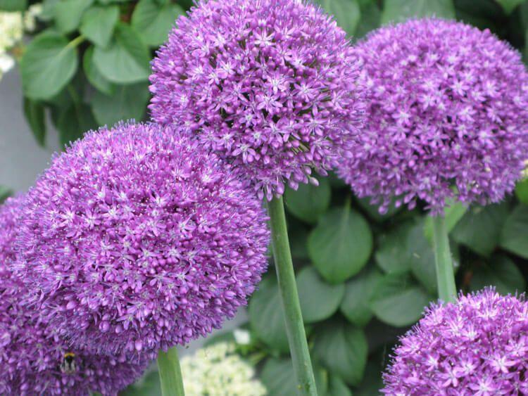 violet-03