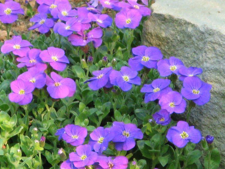 violet-031
