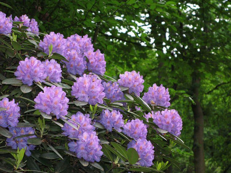 violet-032