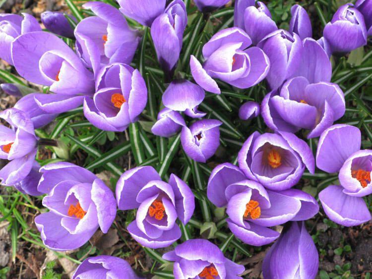 violet-033