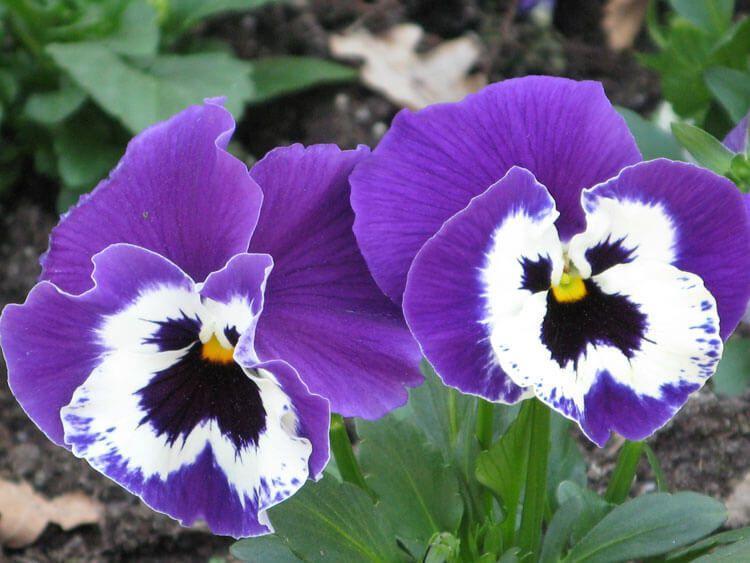 violet-034
