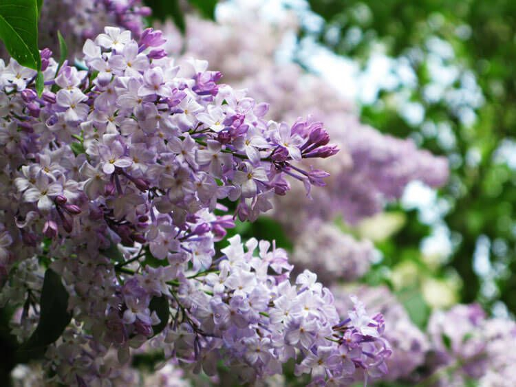 violet-035