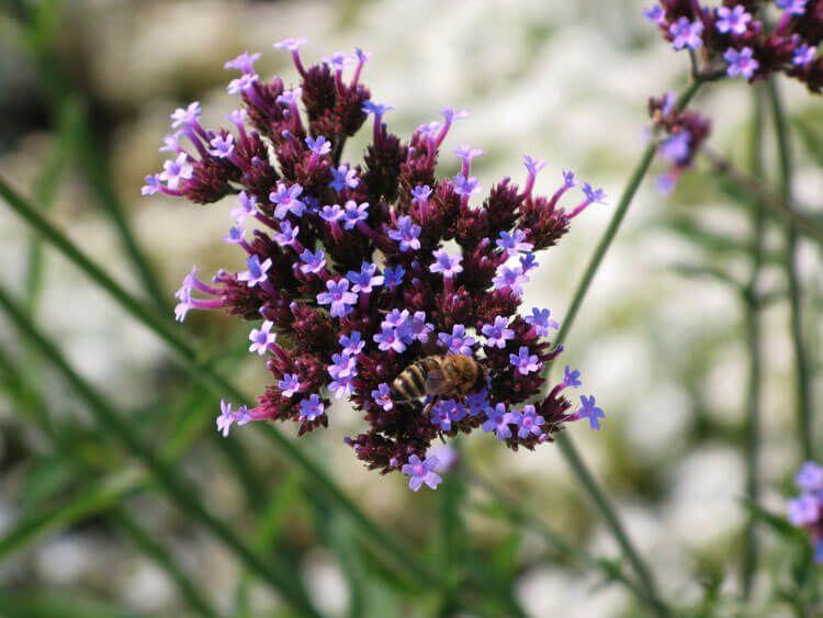 violet-036