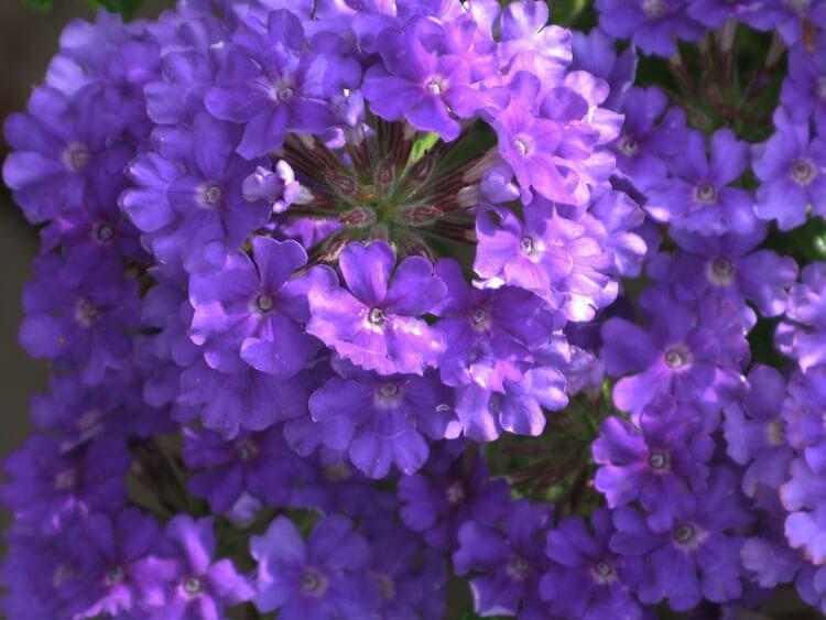 violet-037