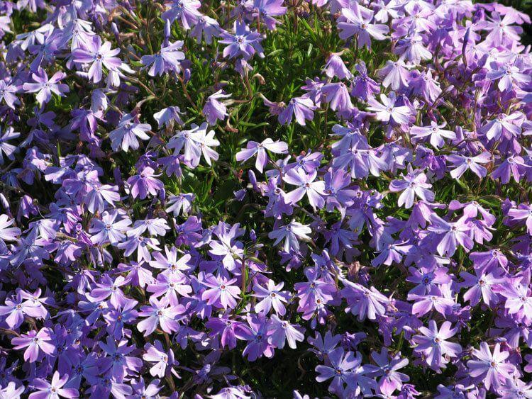 violet-038