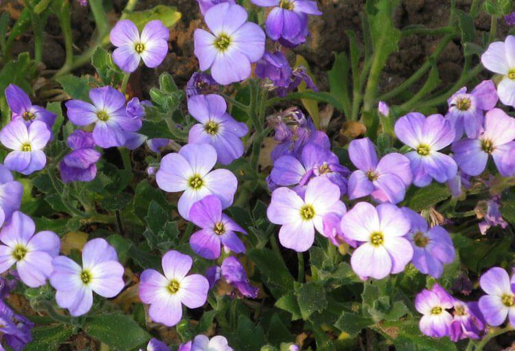 violet-039