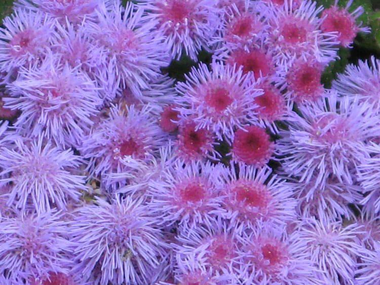 violet-04