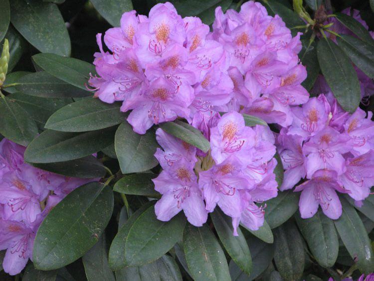 violet-05