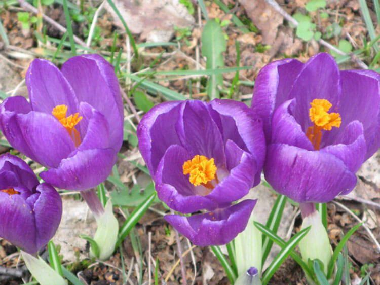 violet-06