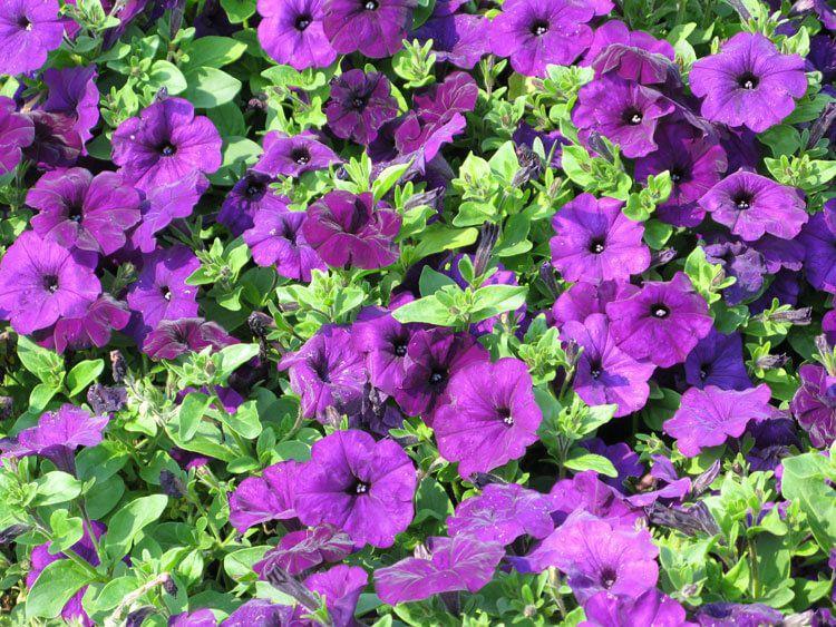 violet-07