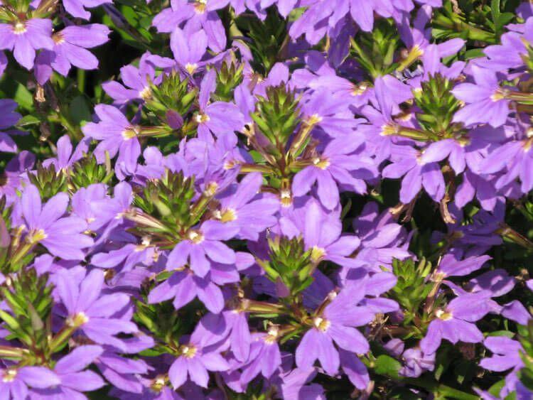 violet-08