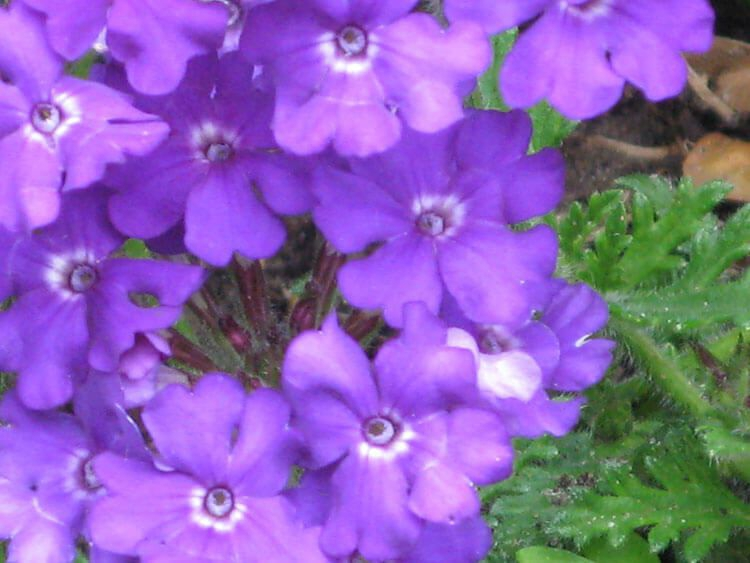 violet-09